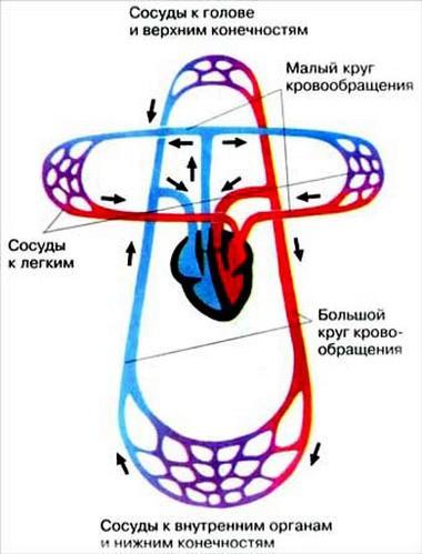 роль схема кровообращения в картинках востоку